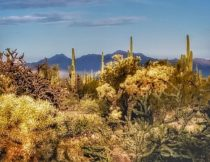 Cactus Forest to Roadrunner – Arizona – January 2020