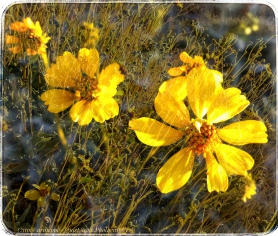 #highervibration Day 120 - The flowers had a lesson to teach me as I walked in the desert this morning. Thank you, my lovely little friends.