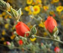 Flowers in the Desert – March 2020