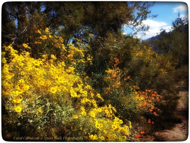 #highervibration Day 160 - Do not doubt that there is joy in the world. Sometimes it shows up flamboyantly as desert marigolds and globe mallows.