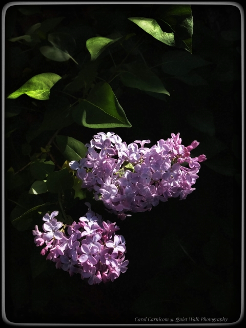 #highervibration Day 216 - I am quite pleased with the lilac sneaking through the fence and blooming on my side.