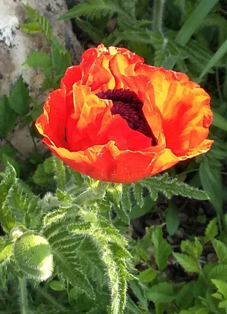 Day 223 #highervibration The first poppy blossom, red perfection backlit by the rising sun, as lovely as a stained-glass window, a joyful gift to start the day.