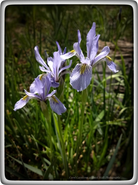 #highervibration Day 232 - Wild Iris, who can resist these resilient and delicate beauties who find strength in their togetherness.